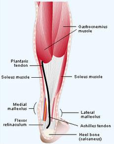 Calf showing normal achilles tendon